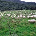 Abitudini, comportamento e preferenze delle pecore