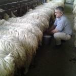 """La mungitura delle pecore a mano """"parte 1″"""