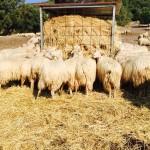 Pastorizia allo stato dell'arte