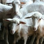 La pecora Sarda, il nostro futuro