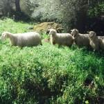 Salvare la pastorizia per salvare l'identità del popolo sardo